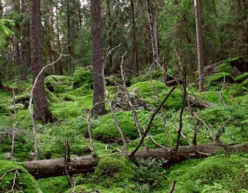 gammelskog2