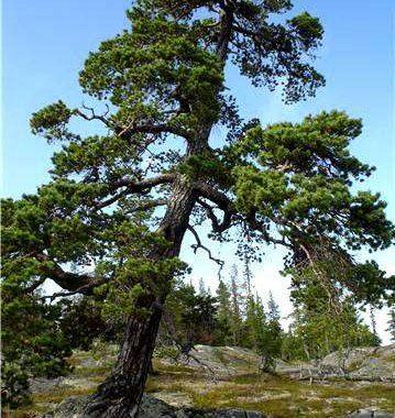 http://www.protecttheforest.se/images/krv_sakevaratj1.jpg