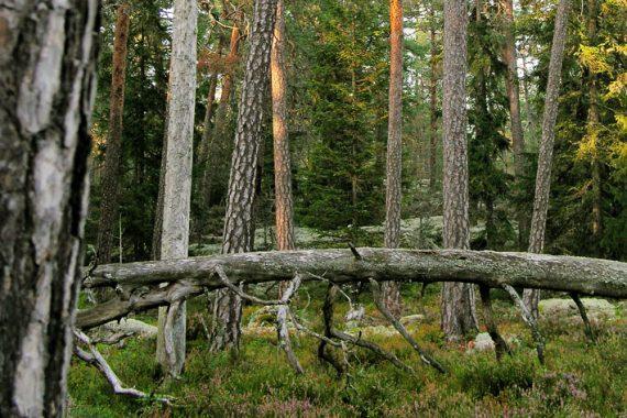 Gammal tallnaturskog i Bruna bergen/Brevens tallskogar med rik biologisk mångfald och hotade arter. Foto: Olli Manninen