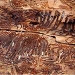 Granbarkborrar är en del av det naturliga skogsekosystemet – men i granplantage kan de öka kraftigt