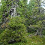Viktigt att skydda orörda skogar för att motverka klimatförändringarna