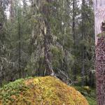 Återigen ska en skog med fridlysta arter avverkas, myndigheterna passiva