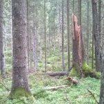 Debatt i Altinget: Miljömålen för skydd av skog måste nås