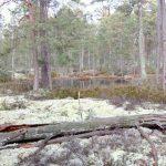 Unik tallnaturskog vid Försjön hotas av avverkning i Mönsterås kommun