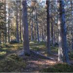 Fyra röster: Sveaskog straffar samerna i Maskaure - 400 hektar ska avverkas och över 9000 hektar skog har sålts