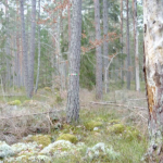 Sveaskog planerar att avverka en nyckelbiotop i Ekopark Hornsö