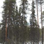 Skandal: Sveaskog har avverkat 200-årig skog i Arvidsjaur trots protester