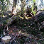 Sveaskog avverkade för granbarkborre, fällde gamla tallar och lövträd