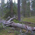 Ny broschyr om skog och klimat: Skydda naturskogar och bruka resten av skogen hyggesfritt