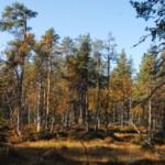 Nytt öppet brev till Sveaskog: Bemöt alla samebyar med respekt och som jämbördiga parter