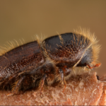 Åttatandad barkborre har fiender i döda träd