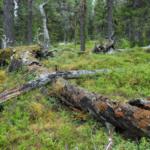 Öppet brev: Besinna er och respektera samerna, Sveaskog