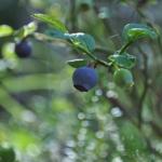 Blåbär är viktiga för många arter och missgynnas av skogsbruk