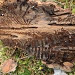 Flera organisationer: Stoppa avverkningar i skogar med höga naturvärden på grund av granbarkborre