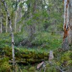 För sjätte gången Sveaskog: Avverka inte hänglavsskogen på Biellovare i Norrbotten!