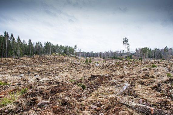 Avverkning i ekopark Hedlandet. Bild: M. Lander