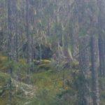 FSC-klagomål inskickade mot avverkningar i Jämtland