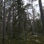 Sveaskog planerar att avverka naturskog i nationalparksförslag
