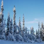 Öppet brev till Sveaskog: Alla hänglavskogar i renbetesområdet skall sparas!
