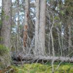 Öppet brev om Sveaskogs utmattningstaktik
