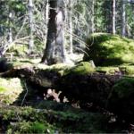 Upprop: Avverka inte de sista gammelskogarna i våra län!