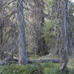 Hänglavsbärande naturskogar med höga naturvärden skall sparas - inte huggas ner