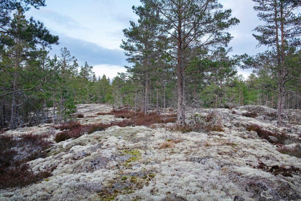 Avverkning intill tjäderspelplats i Sörmland