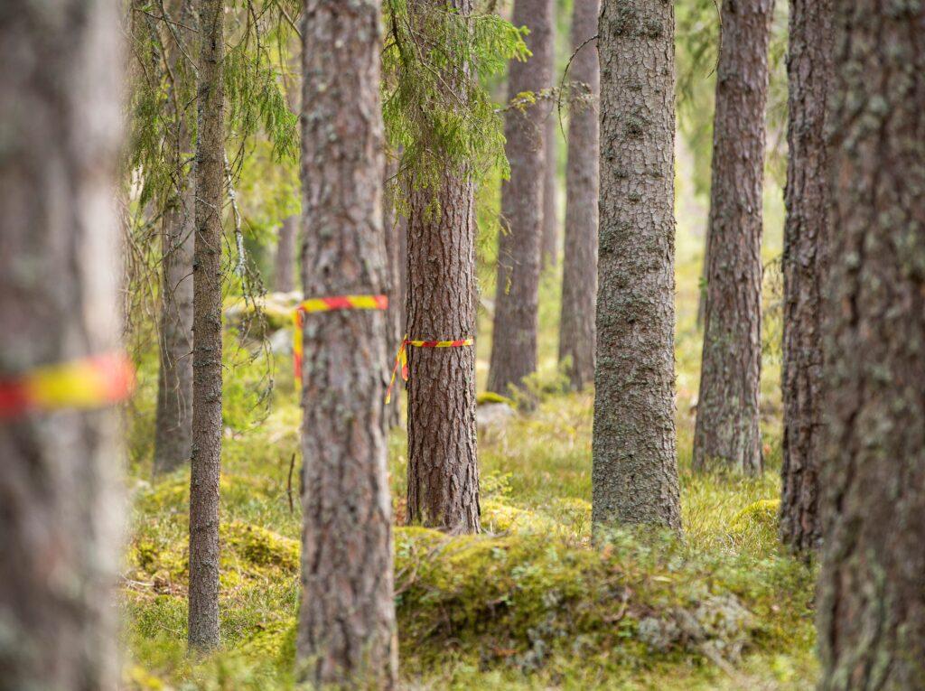 Skogsstyrelsen ska utreda hotad tjäderspelplats