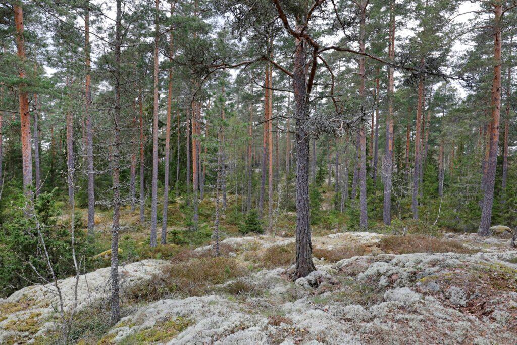 Skog med tallar och hällmark vid Sörmlandsleden som ska avverkas