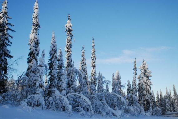 Den senvuxna och hänglavsrika grannaturskogen som Sveaskog avverkade på Beässurjuhkatje (vid Vittjåkksvägen) i Mausjaur samebys renbetesland i februari 2021. Här ses den i vinterskrud. Foto: Björn Mildh.
