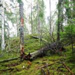 Gallring hotar oskyddat naturskogsområde i Kalmar län