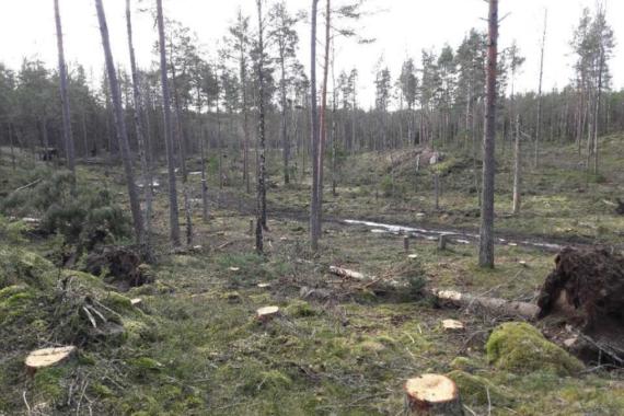 Det avverkades på grund av granbarkborreangrepp i Gålö naturreservat i Stockholms skärgård i mars 2021. Foto: Privat