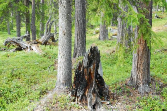 Sveaskog planerade att avverka den gamla naturskogen vid lågfjället Råmsjak i Arjeplogs kommun som brann hårt, sannolikt under 1800-talet. Foto: Björn Mildh.