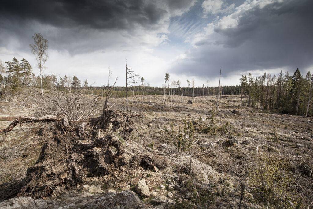 Den populära skogen vid Bälgviken i Sörmland  är nu kalavverkad.