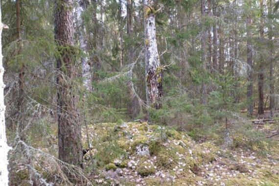 Kalkbarrskogen norr om Försjön är planerad för avverkning av Södra. Foto: Privat.