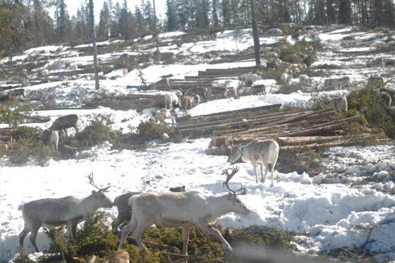 Renar i en nyligen avverkad skog i Maskaure sameby. Foto: Björn Mildh.