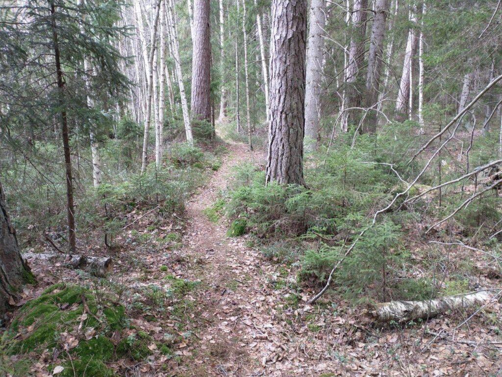 Den fina barrblandskogen vid sjön Skiren som Sveaskog avverkningsanmälde.