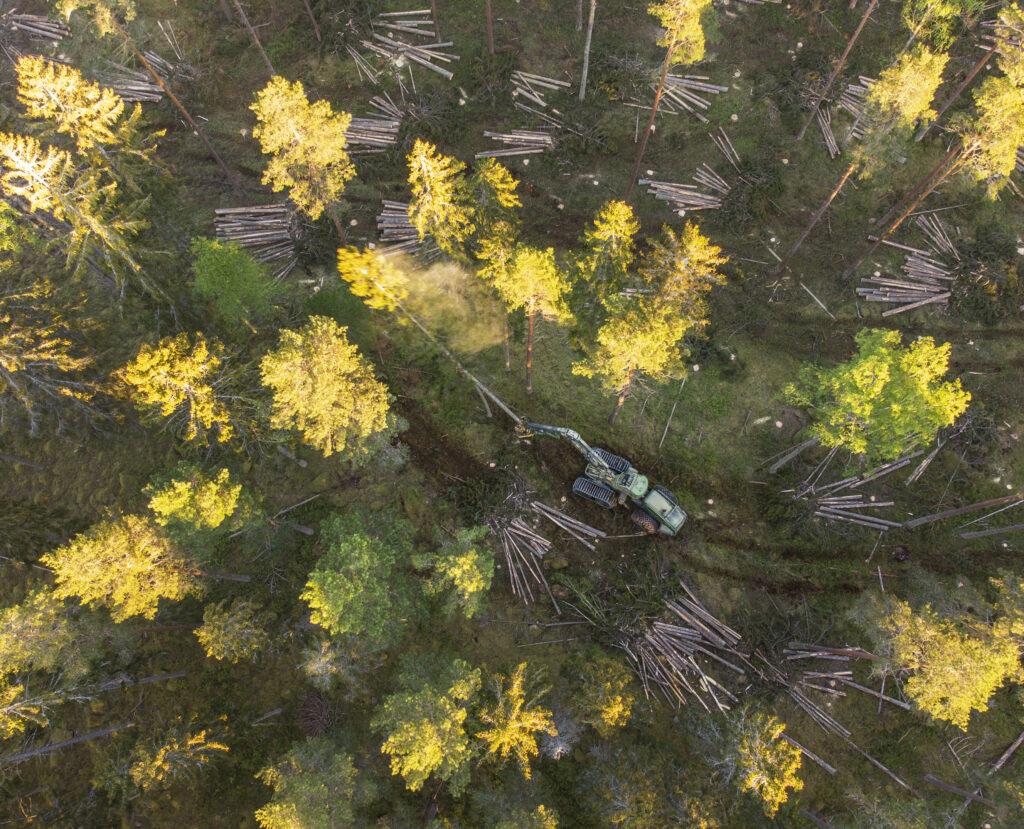 En skogsmaskin tar ned skogen där tjädrarna lever