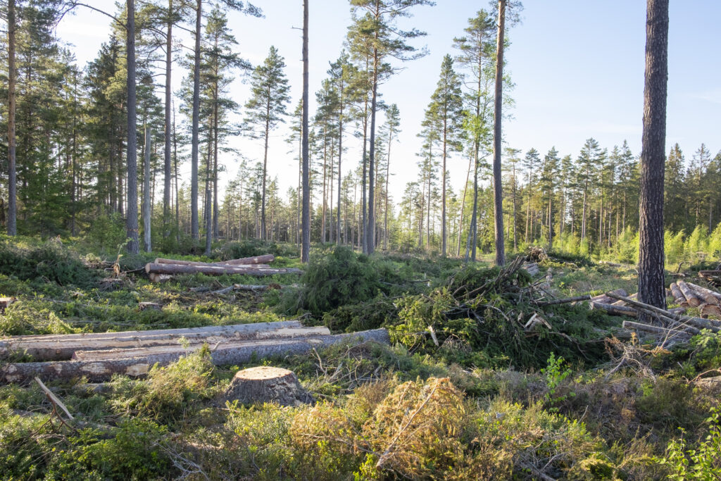 Tjäderskogen under avverkning, tallarna ligger fällda på marken.