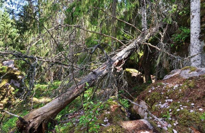 I naturskogen vid Gallsjön finns gott om död ved i olika dimensioner och nedbrytningsstadier. Foto: Jan Brenander. finns