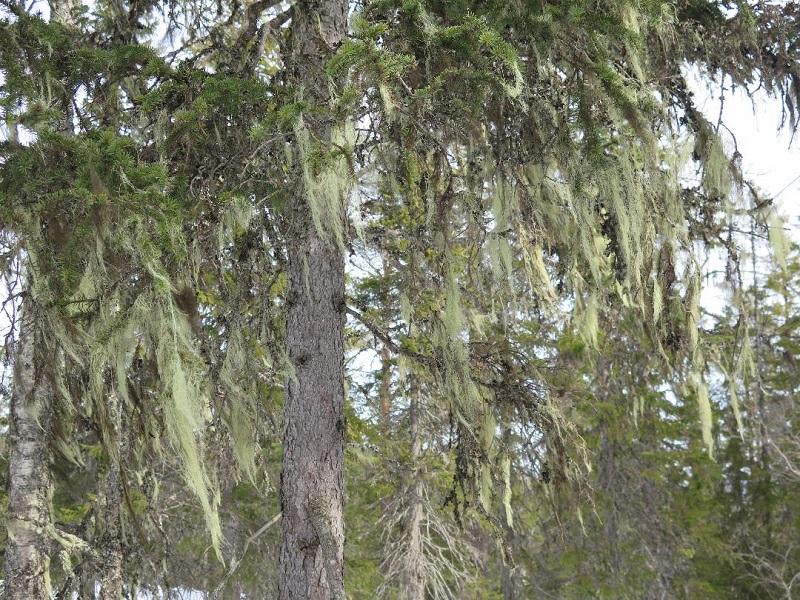En stor gran som det växer mycket av den rödlistade garnlaven på, i en avverkningshotad skog vid Gällsjöberget, Orsa kommun.