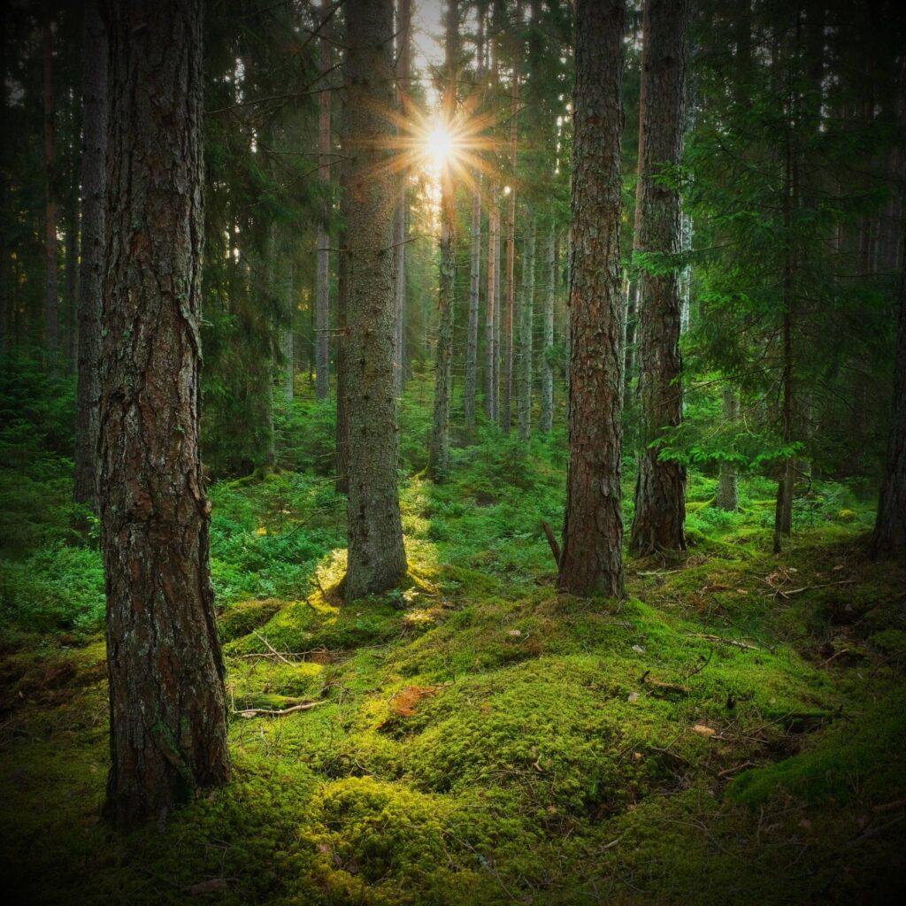Den avverkningsanmälda skogen med knärot i Näshulta Socken.