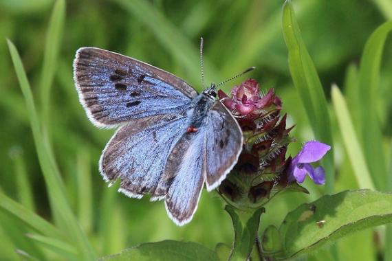 Svartfläckigblåvvingsfjäril, en av de hotade arterna.