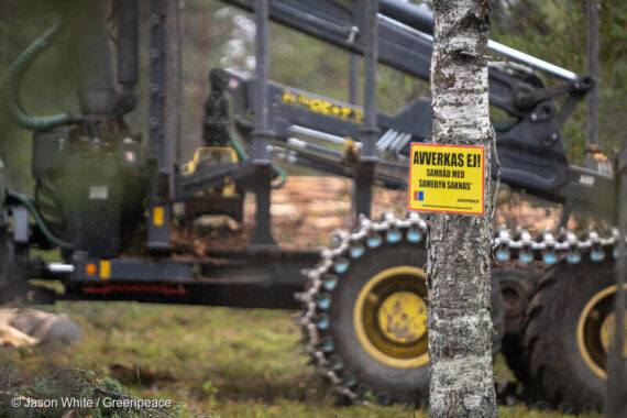 Sveaskog har tillfälligt avbrutit sin avverkning av renbetesskogen med höga naturvärden i Muonio sameby. Foto: Jason White/Greenpeace.