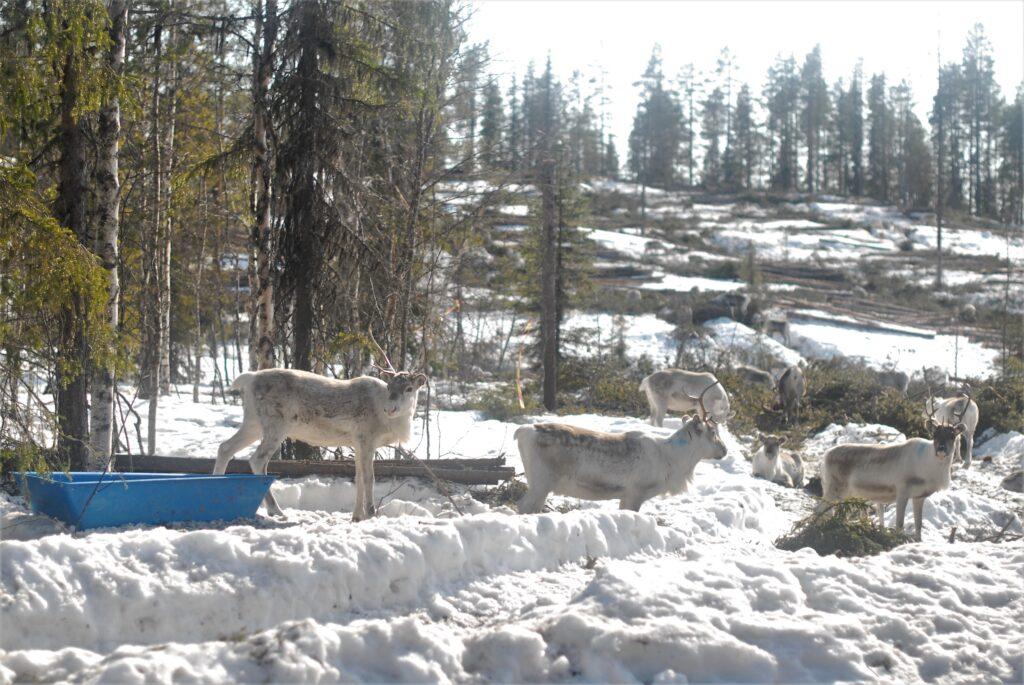 Renar som står i delvis huggen skog och äter pellets.