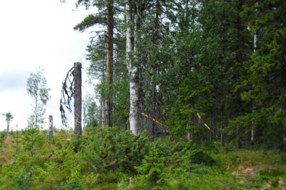 """Sveaskogs signum vajar i blåsten vid den sista resten av naturskog vid Tjappsåive som omges av 150 hektar hyggen. """"Sveaskog, nu får det vara nog hugget på Tjappsåive!"""", skriver representanter från flera samebyar och Naturskyddsföreningen i Norrbotten i ett öppet brev till Sveaskog. Foto: Björn Mildh."""