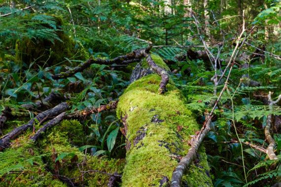 Låga I Vårdsätra skog, ett av Upplands äldsta naturreservat. Foto: David van der Spoel.