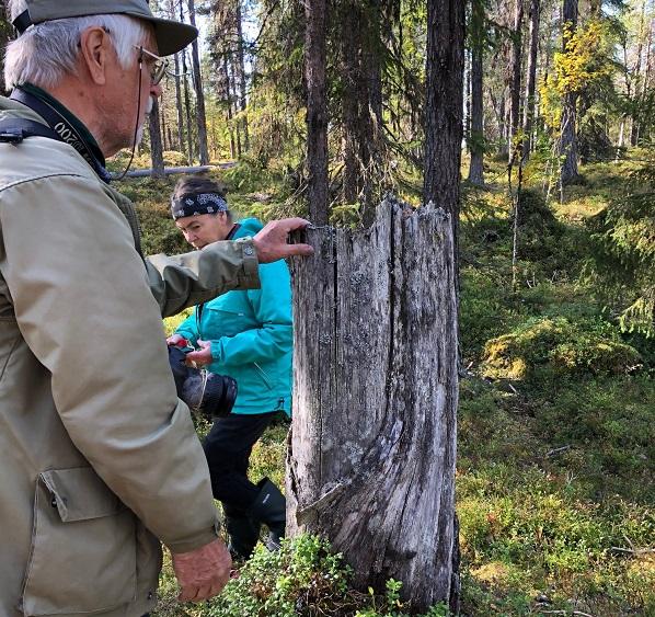 Björn Mildh från Naturskyddsföreningen i Norrbotten visar en gammal barktäkt på en tallstubbe.