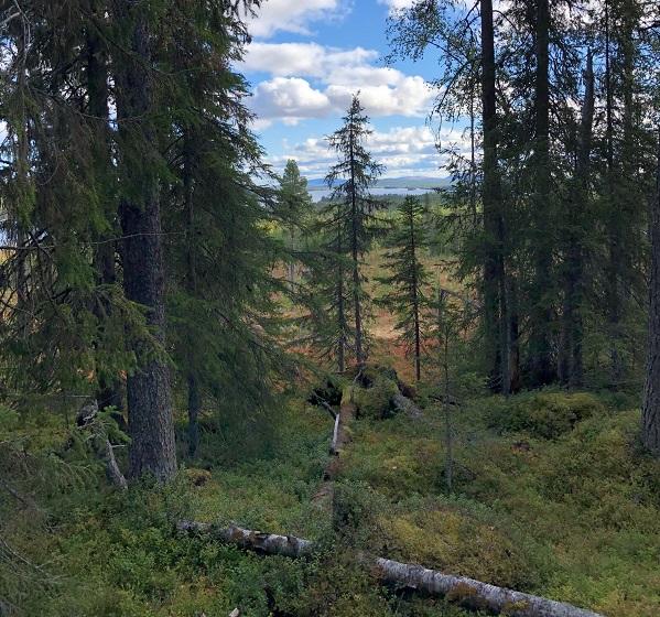 Fin naturskog på Maskaure samebys renbetesmarker med gamla granar och lågor i skog som är avverkningsplanerad.