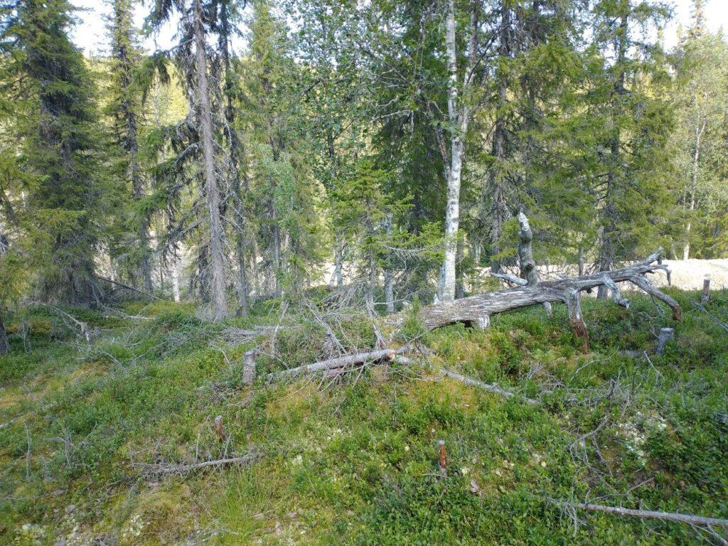 På bilden syns det att naturskogen underröjts och i bakgrunden den nyanlagda vägen som dragits rätt igenom den frivilliga avsättningen, alldeles intill lågan där kritporingen växer.